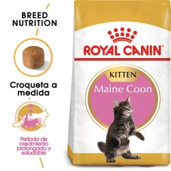 Kitten Maine Coon (1)