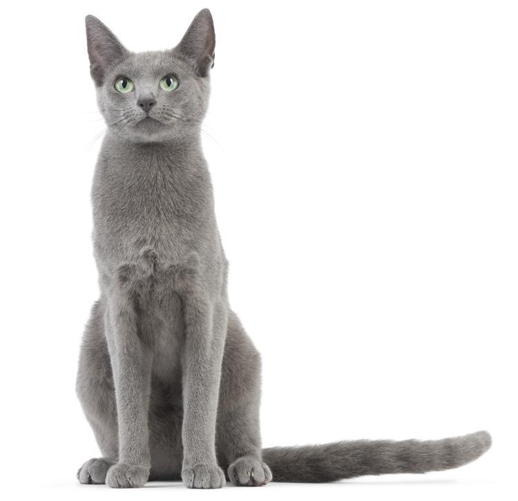 Russian Blue Cat Hair Length