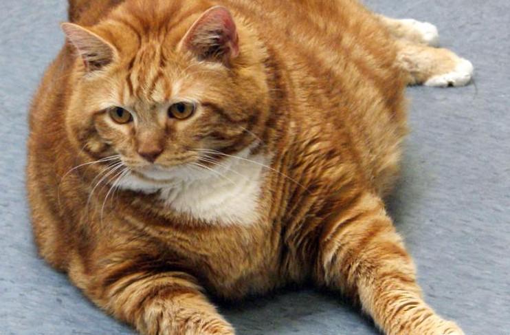 Gato obeso1