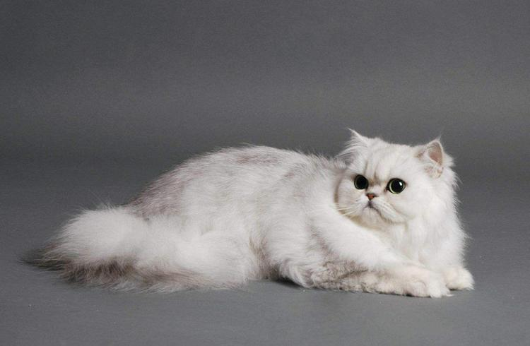 Ojos Azules The Uncommon Cat Here is cat breed thats as new as it is rare Many new breeds have been developed in recent history have catered to the shock value or odd features of the cats appearance