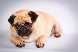 El-sobrepeso-extra-es-un-problema-serio-para-los-cachorross