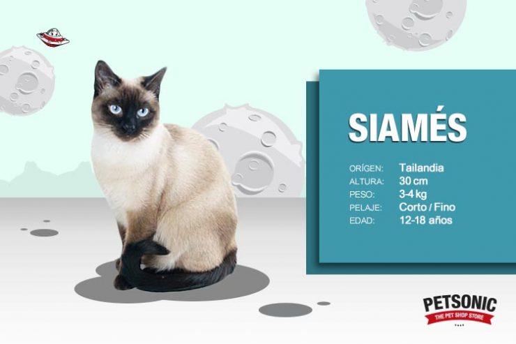 El juego de las palabras encadenadas-http://www.petsonic.com/blog/wp-content/uploads/2016/06/Gato-Siam%C3%A9s-Raza-Caracter%C3%ADsticas-Petsonic-740x493.jpg