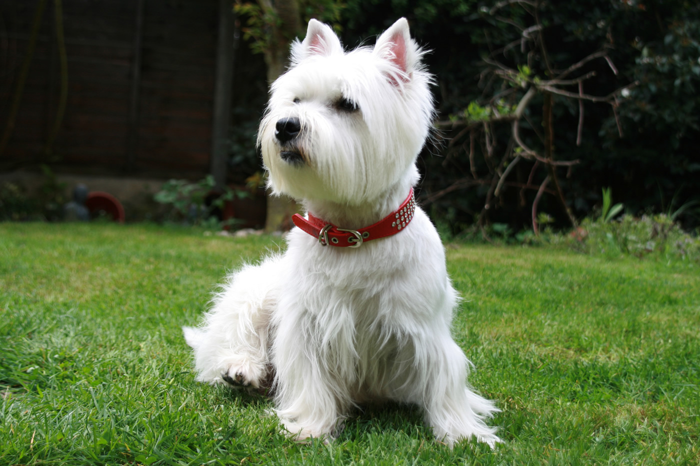 Petrace Westie O West Highland White Terrier  Petsoniccom. Living Room Shutters Interior. Living Room Decorating Ideas With Black Furniture. Living Room Ideas Modern 2016. The Living Room Boynton Beach Menu. Black Gray Turquoise Living Room. Modern Colour Schemes For Living Room Grey Sofa. Trending Living Room Colors 2018. Living Rooms Sets