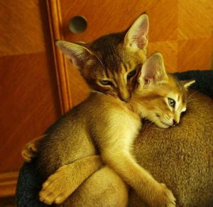 gato-abisinio-mama-y-cachorro