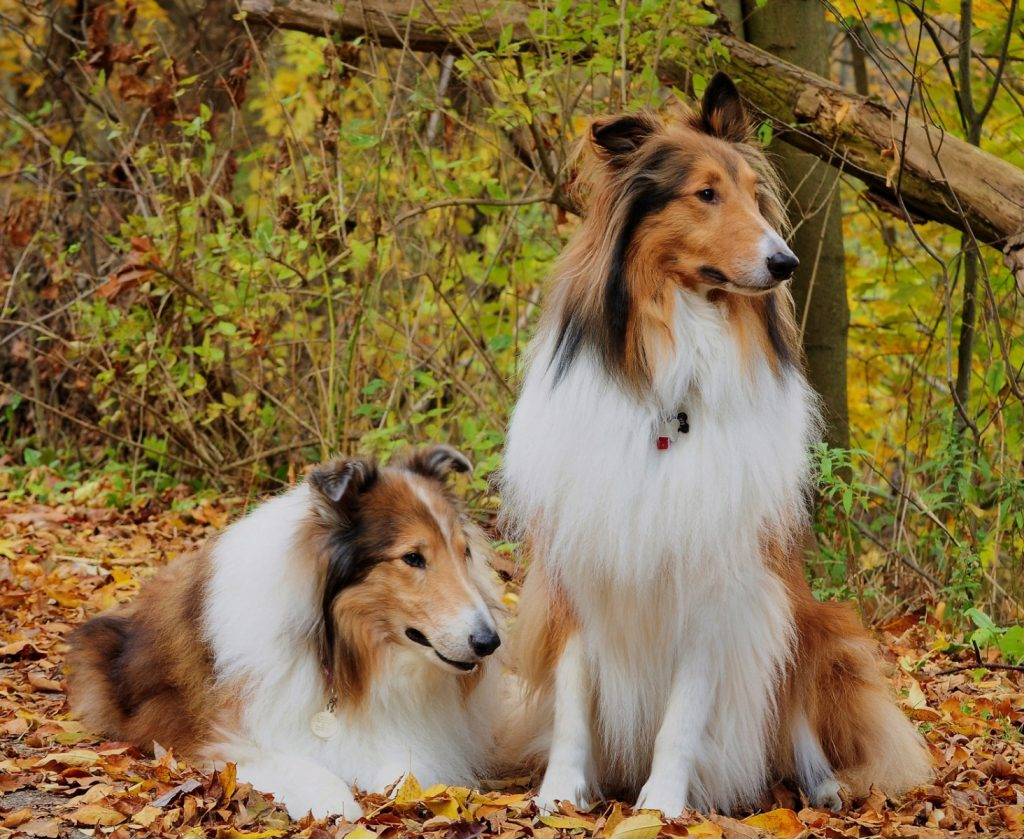 rough-collie-caracter