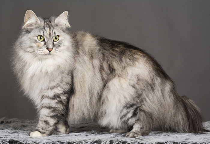 bosque-noruega-gato