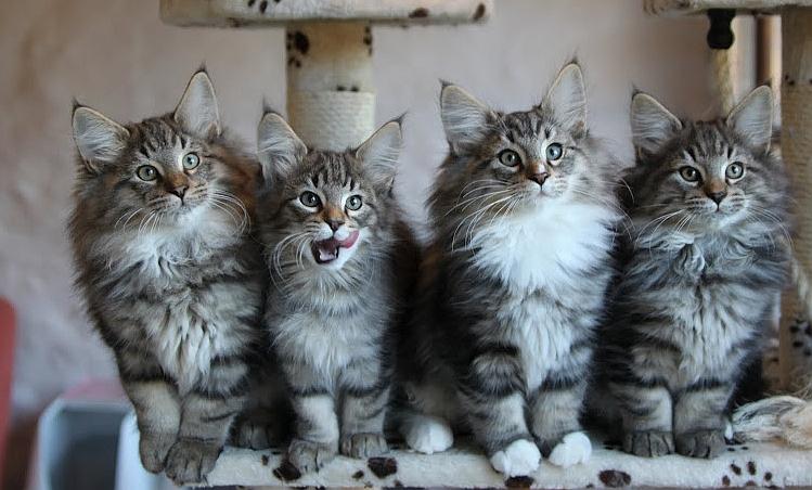 gatitos-bosque-noruega