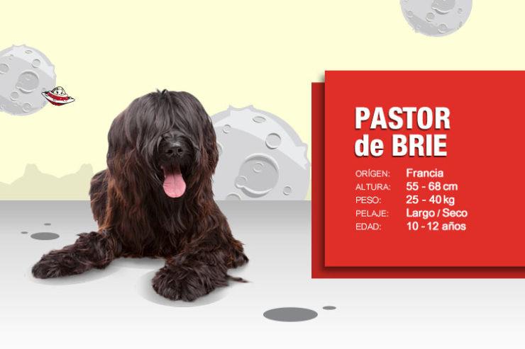 pastor-de-brie-2