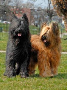 perro-pastor-de-brie-en-estados-unidos