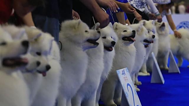 concursos de belleza canina