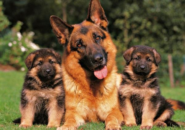 pastor aleman y cachorros