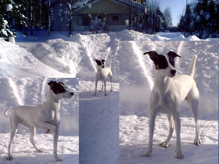 perro bodeguero andaluz en la nieve