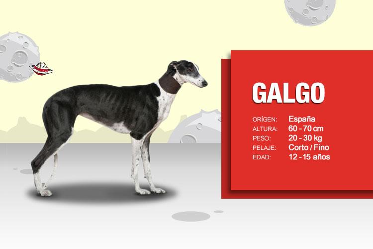 ▷ Galgo Español  Historia y Curiosidades  05fa55ec42d