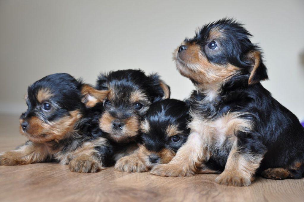 yorkshire cachorros