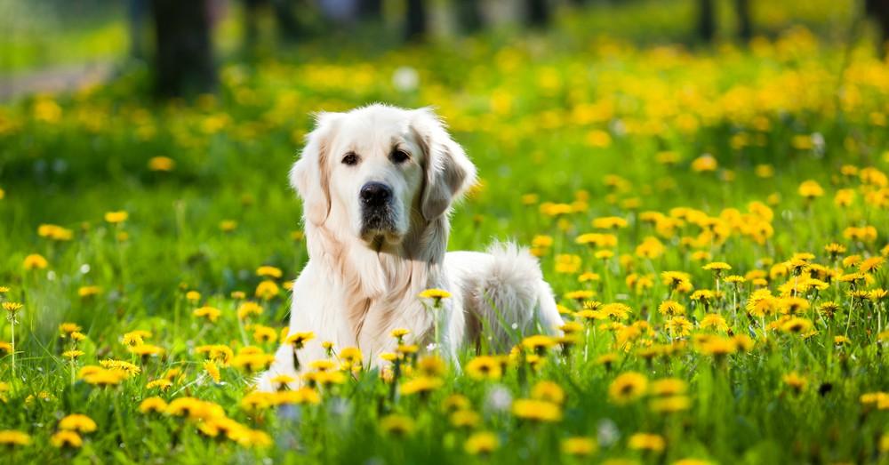 antiparasitarios-perro-primavera
