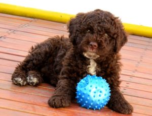 perro agua español cachorro