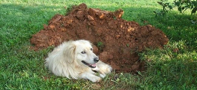 perro cavar 1