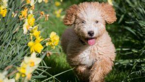 perro de agua español cachorro