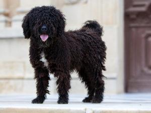 perro de agua español negro