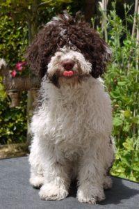 perro turco andaluz