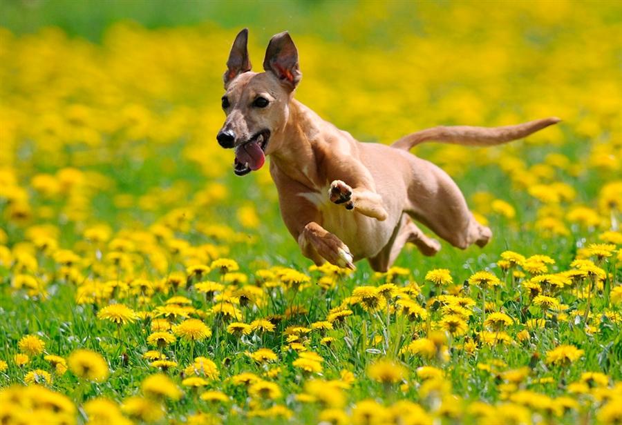 alergias de perros en primavera