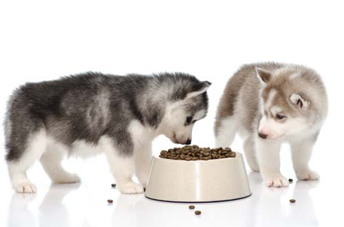Siberian husky puppy eating food