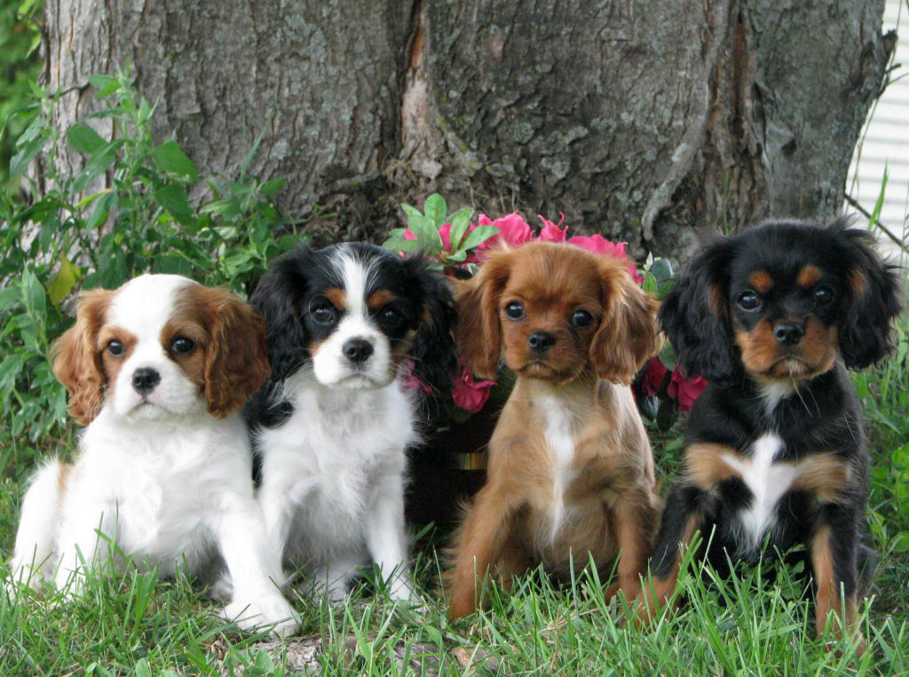 cachorros king charles spaniel