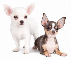 fotos-de-razas-de-perros-pequeños-peludos-2