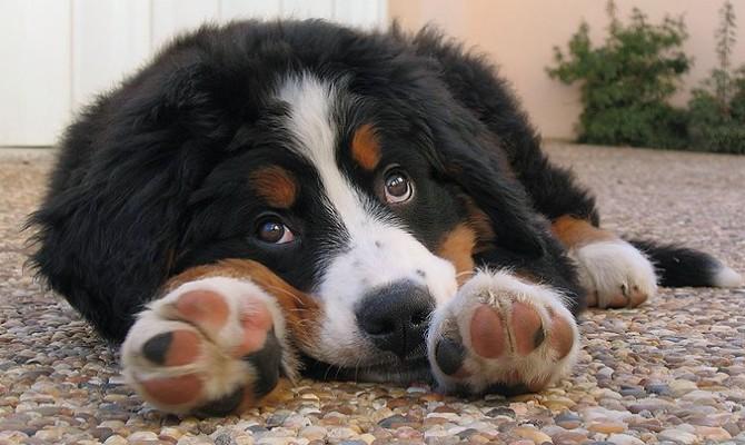 cachorro con parvovirus