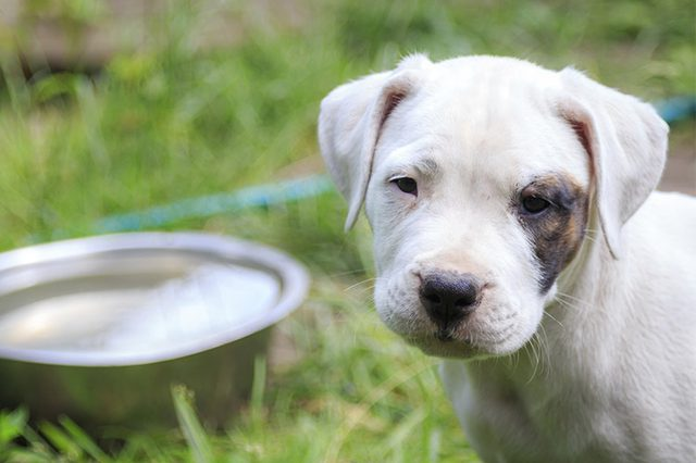 cachorro vacunas para parvovirus canino