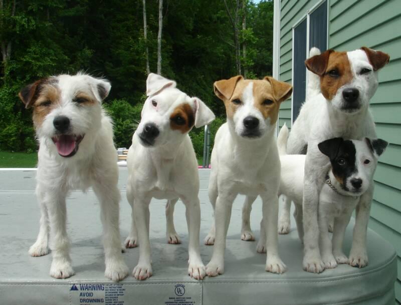 jack russells terriers diferentes