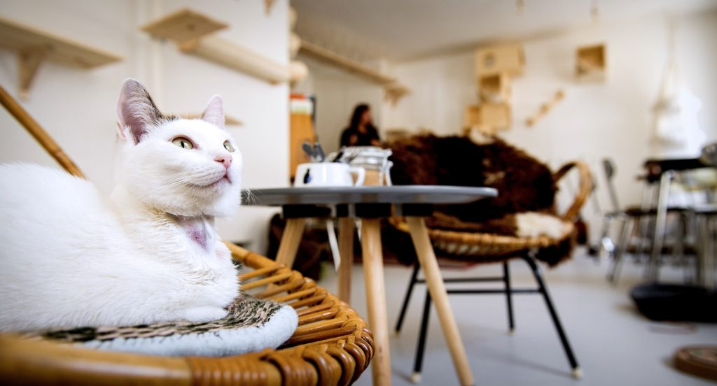 A cat lies on a chair in the first cat cafe in Amsterdam, the Netherlands, on April 21, 2015. Already popular in Tokyo where there are dozens, cat cafes allow customers who cannot have a pet at home to enjoy a cup of something hot with a purring cat perched on their knees. AFP PHOTO /ANP / KOEN VAN WEEL -NETHERLANDS OUT- (Photo credit should read Koen van Weel/AFP/Getty Images)