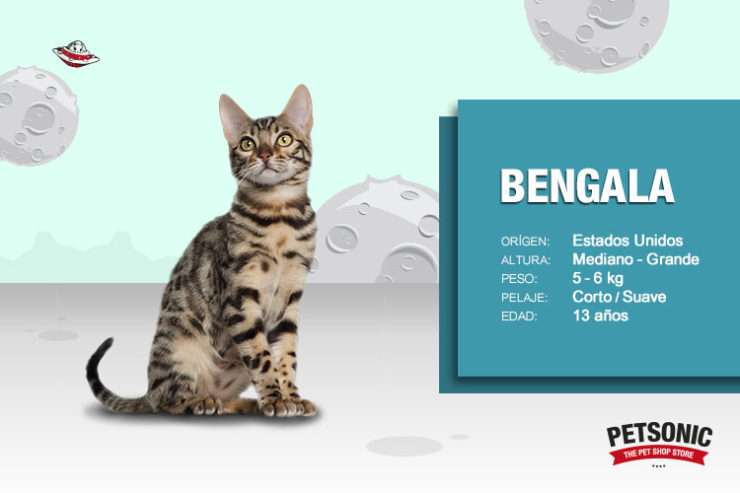 raza gato bengala