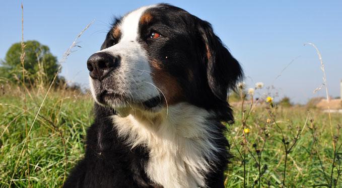 bernesemountaindog-1