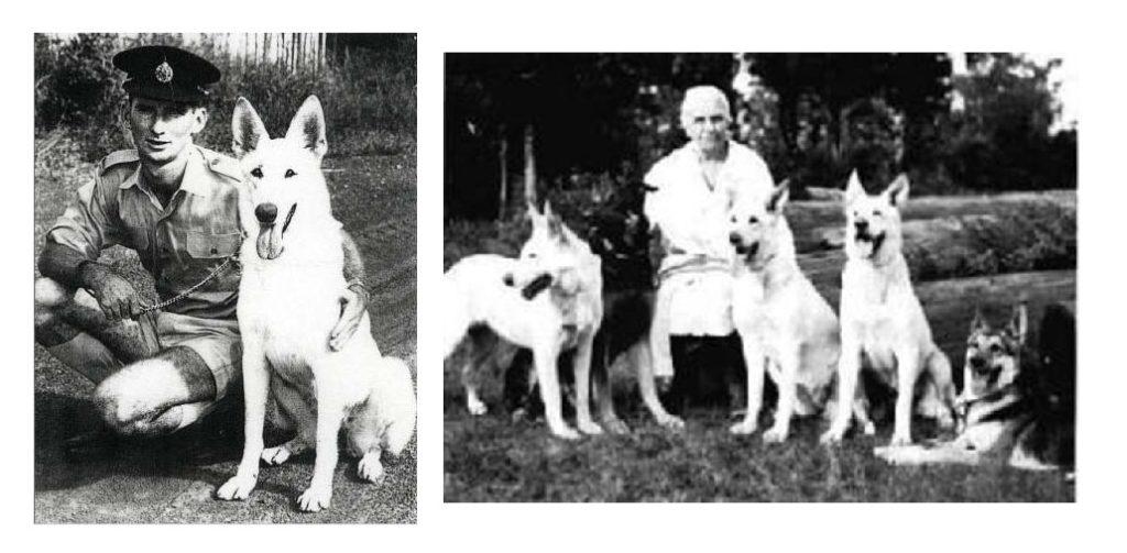pastor blanco suizo historia