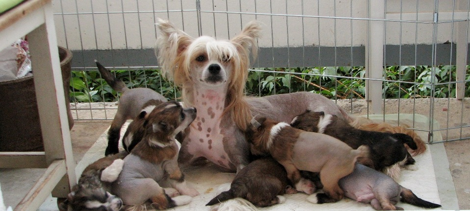 chinese crested mumy puppies