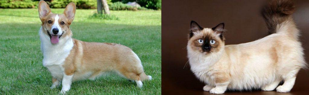corgi cat