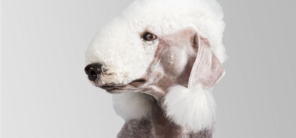 bedlington terrier cabeza