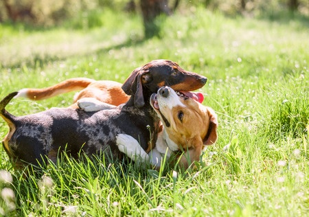 29654592 - dachshund and beagle playing together in grass