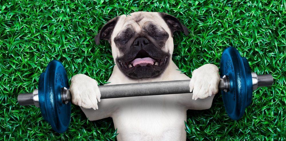 perro de deporte y trabajo pug