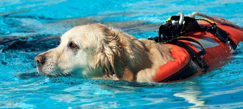 perro de deporte nadar labrador