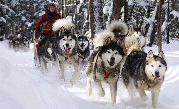 malamute sport