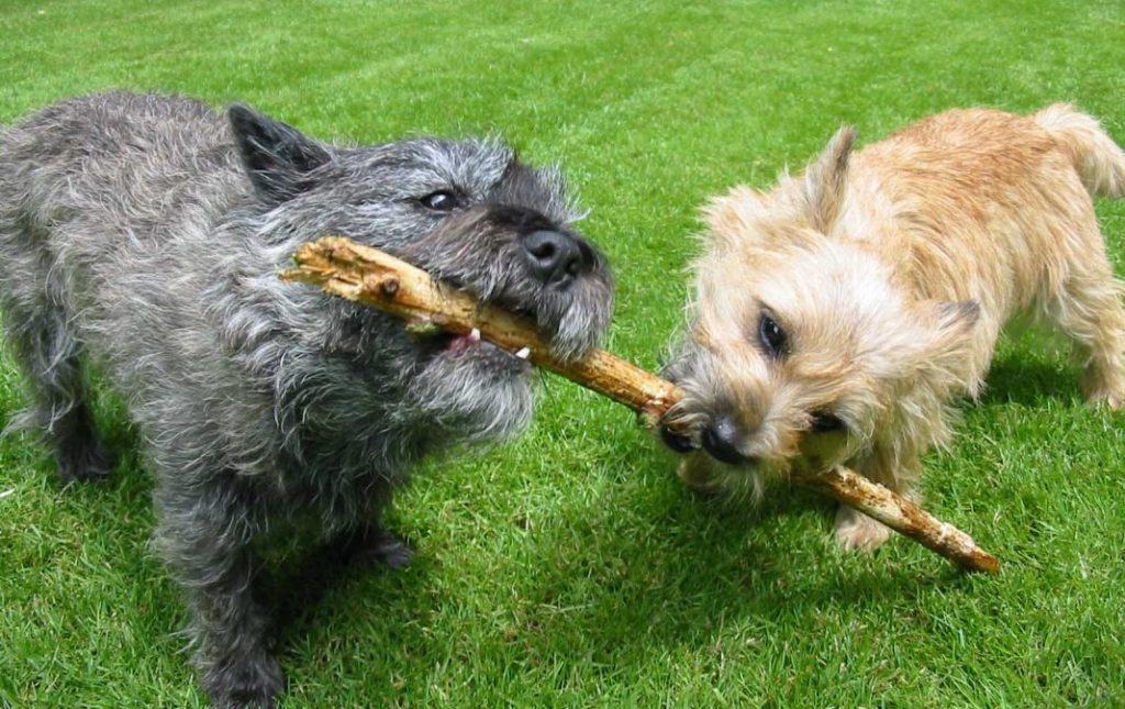 Cairn-Terrier-Dogs-and-Puppies