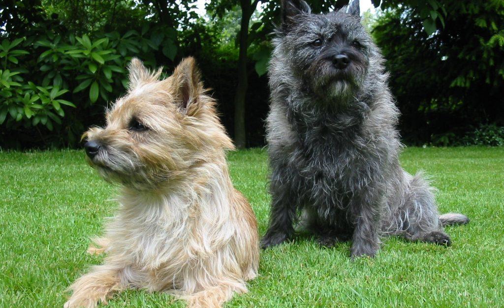 cairn terrier1