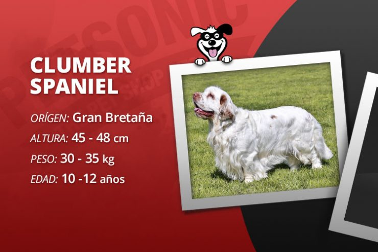 Petraza clumber spaniel for Alimentation chien maison