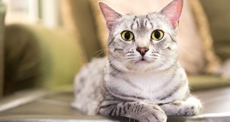 mau gato egipcio