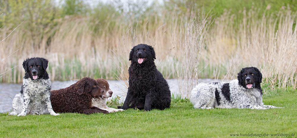 perro de agua frisón grupo