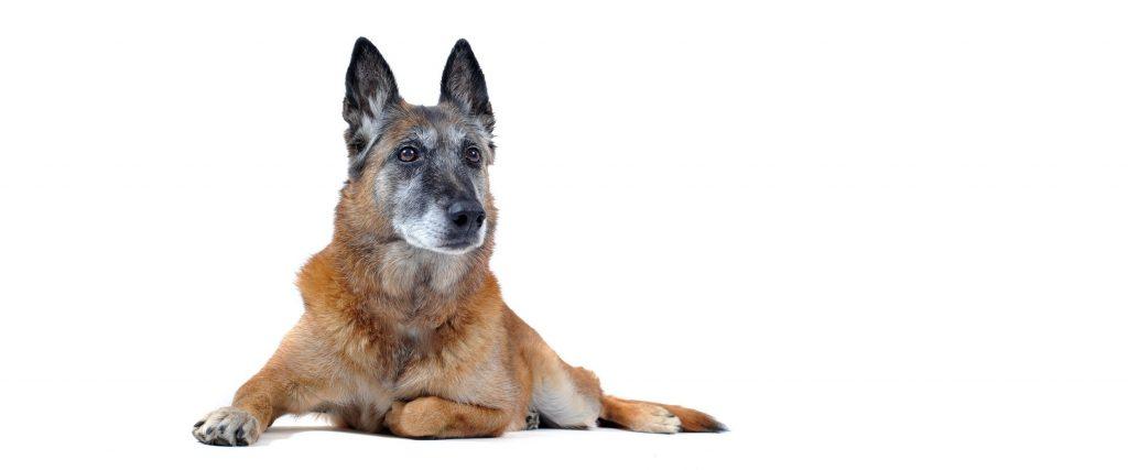 mascotas sénior perro
