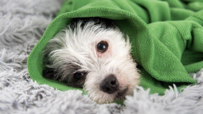perro-resfriado-678x381