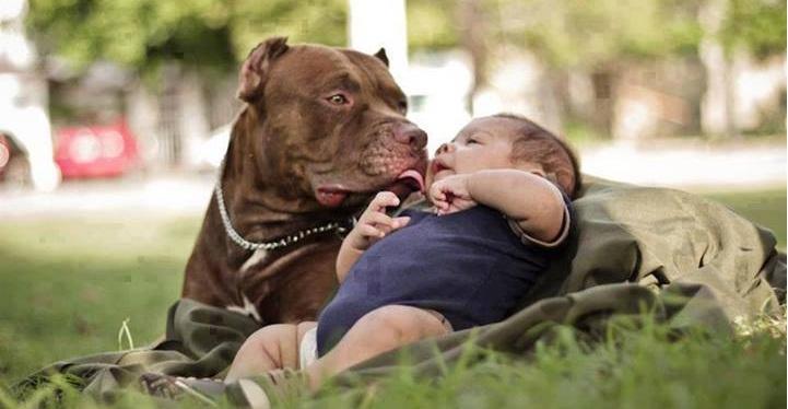 american pitbull terrier con bebe